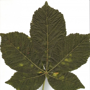 Photographie n°6493 du taxon Aesculus hippocastanum L.