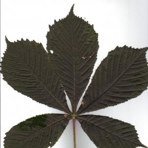 Photographie n°6500 du taxon Aesculus hippocastanum L.