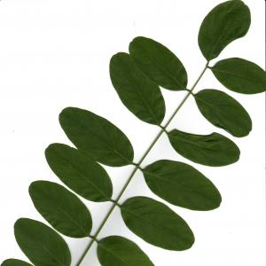 Photographie n°6501 du taxon Robinia pseudoacacia L.