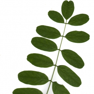 Photographie n°6502 du taxon Robinia pseudoacacia L.
