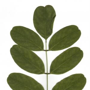 Photographie n°6503 du taxon Robinia pseudoacacia L.