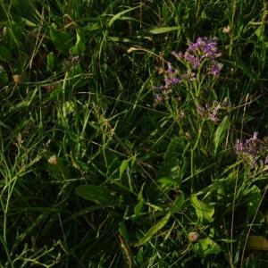 Photographie n°6525 du taxon Limonium vulgare Mill.