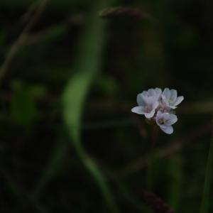 Photographie n°6531 du taxon Armeria maritima Willd.