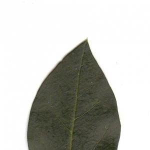 Photographie n°6536 du taxon Ligustrum vulgare L. [1753]