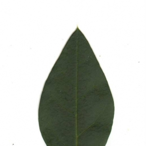 Photographie n°6538 du taxon Ligustrum vulgare L. [1753]