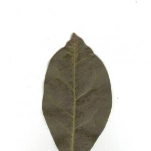 Photographie n°6539 du taxon Ligustrum vulgare L. [1753]
