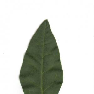 Photographie n°6540 du taxon Ligustrum vulgare L. [1753]