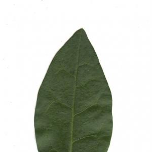 Photographie n°6541 du taxon Ligustrum vulgare L. [1753]
