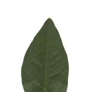 Photographie n°6542 du taxon Ligustrum vulgare L. [1753]