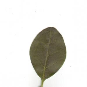 Photographie n°6544 du taxon Ligustrum vulgare L. [1753]