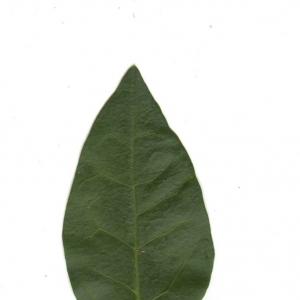 Photographie n°6545 du taxon Ligustrum vulgare L. [1753]