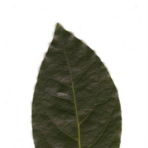 Photographie n°6553 du taxon Laurus nobilis L. [1753]