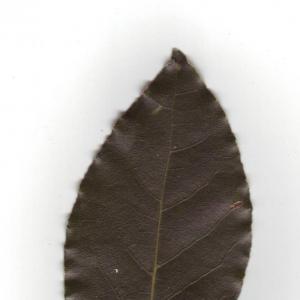 Photographie n°6554 du taxon Laurus nobilis L. [1753]