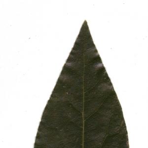 Photographie n°6555 du taxon Laurus nobilis L. [1753]