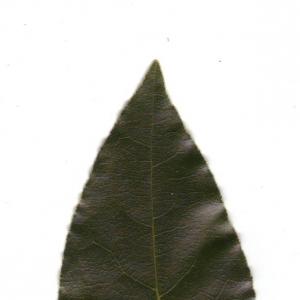 Photographie n°6556 du taxon Laurus nobilis L. [1753]