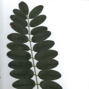 Photographie n°6560 du taxon Robinia pseudoacacia L.