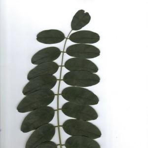 Photographie n°6561 du taxon Robinia pseudoacacia L.
