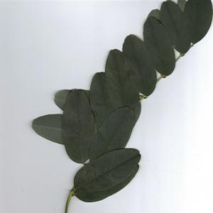 Photographie n°6562 du taxon Robinia pseudoacacia L.