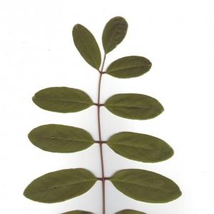 Photographie n°6572 du taxon Robinia pseudoacacia L.
