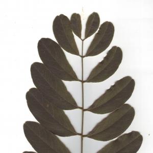 Photographie n°6574 du taxon Robinia pseudoacacia L.