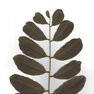 Photographie n°6575 du taxon Robinia pseudoacacia L.