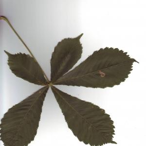 Photographie n°6577 du taxon Aesculus hippocastanum L.