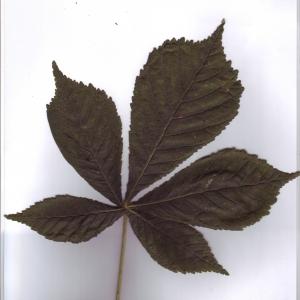 Photographie n°6579 du taxon Aesculus hippocastanum L. [1753]