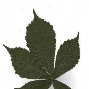 Photographie n°6580 du taxon Aesculus hippocastanum L. [1753]