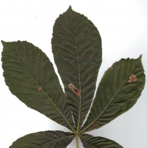 Photographie n°6581 du taxon Aesculus hippocastanum L.
