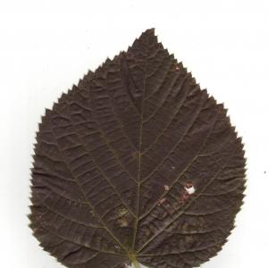 Photographie n°6596 du taxon Tilia x europaea L. [1753]