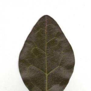 Photographie n°6597 du taxon Ligustrum vulgare L. [1753]