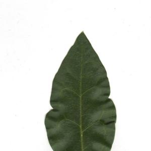 Photographie n°6598 du taxon Ligustrum vulgare L. [1753]