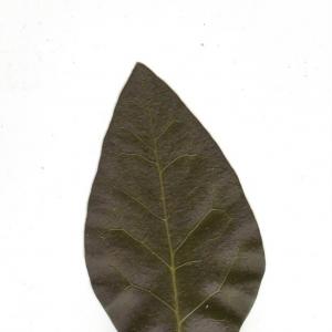 Photographie n°6599 du taxon Ligustrum vulgare L. [1753]