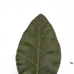 Photographie n°6600 du taxon Ligustrum vulgare L. [1753]