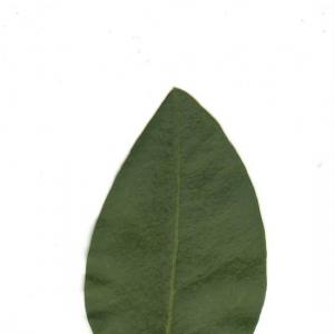 Photographie n°6601 du taxon Ligustrum vulgare L. [1753]