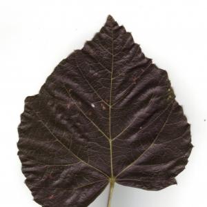 Photographie n°6603 du taxon Tilia x europaea L. [1753]