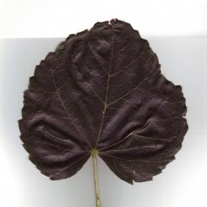 Photographie n°6604 du taxon Tilia x europaea L. [1753]
