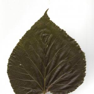 Photographie n°6605 du taxon Tilia x europaea L. [1753]