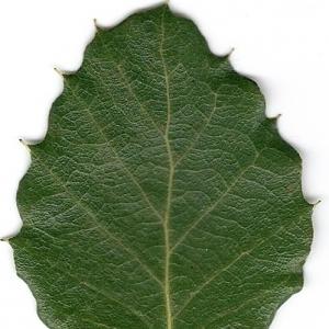 Photographie n°6609 du taxon Quercus suber L. [1753]