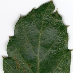 Photographie n°6610 du taxon Quercus suber L.