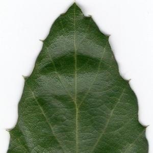 Photographie n°6611 du taxon Quercus suber L. [1753]