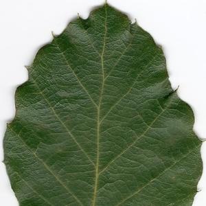 Photographie n°6612 du taxon Quercus suber L. [1753]