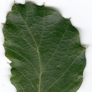 Photographie n°6613 du taxon Quercus suber L.