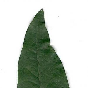 Photographie n°6628 du taxon Ligustrum vulgare L. [1753]