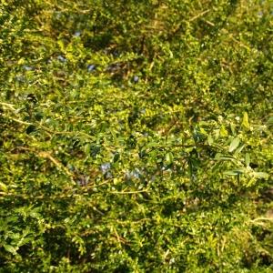 Photographie n°6663 du taxon Buxus sempervirens L.