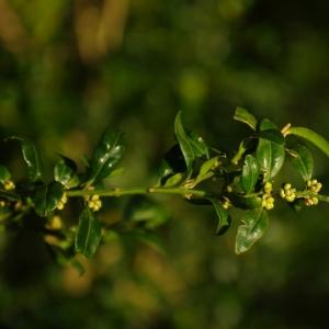 Photographie n°6664 du taxon Buxus sempervirens L.