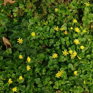 Photographie n°6667 du taxon Ranunculus ficaria L.