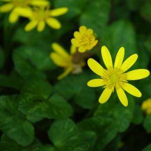 Photographie n°6668 du taxon Ranunculus ficaria L.