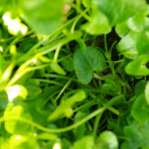 Photographie n°6669 du taxon Ranunculus ficaria L.