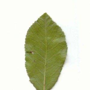 Photographie n°6769 du taxon Arbutus unedo L.